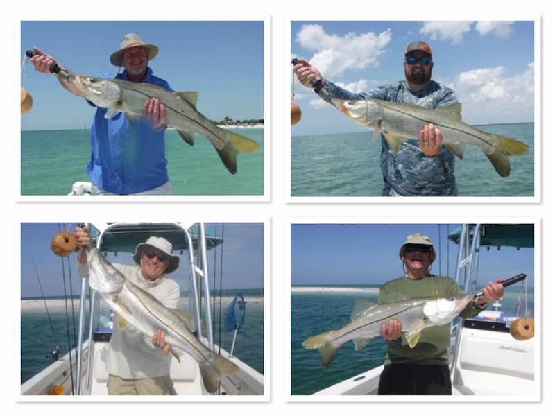 Snook are back on the beaches Tampa and Clearwater