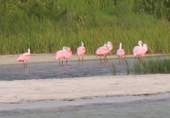 Roseate Spoonbills seen on Tampa Eco-Boat Tour