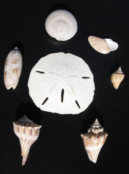 Tampa Florida Shelling and shell collecting